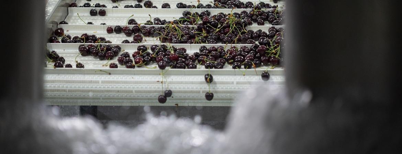 Lavado de cerezas para garantizar su calidad