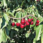 Cerezas en el árbol